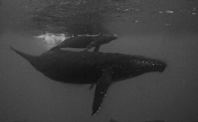 Broussard_ mother and calf_