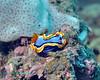 Nudibranch 17