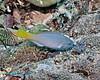 Yellowtail Parrotfish 1