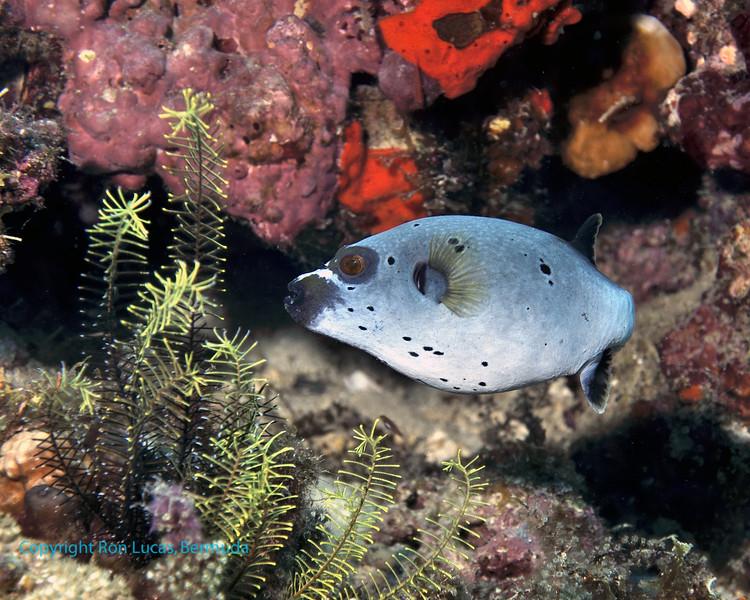 Blackspotted Pufferfish 3