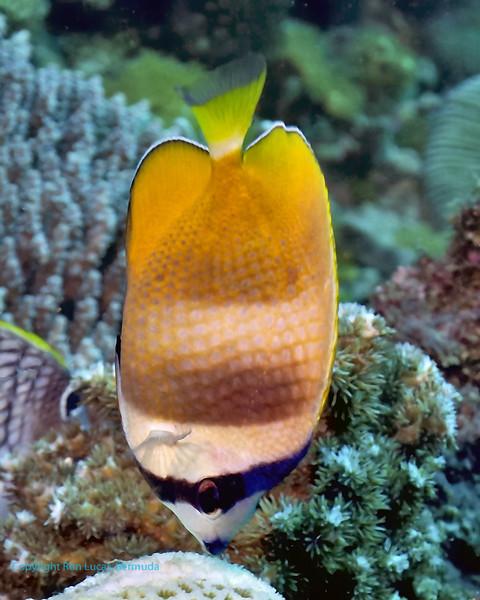 Oriental Butterflyfish 1