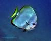 Golden Spadefish 1