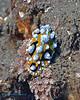 Nudibranch 19