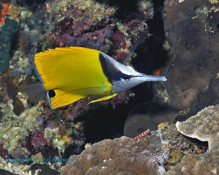 Longnose Butterflyfish 1
