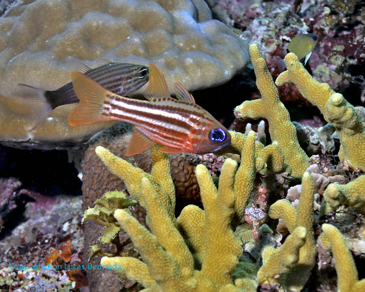 Cardinalfish 2