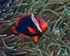 Tomato Anemonefish - female 2