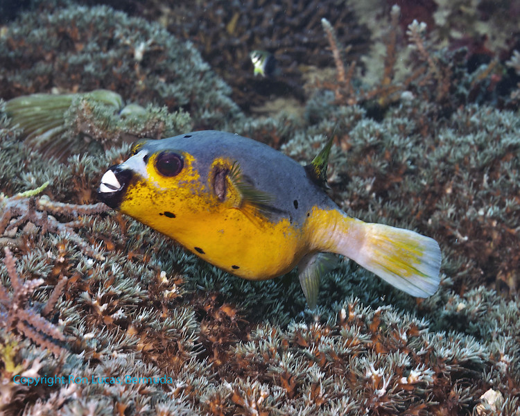 Blackspotted Pufferfish with beak 1