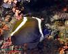 Humphead Bnnerfish a