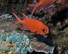 Whitetip Soldierfish 3