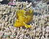 Leaf Scorpionfish 1