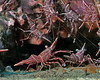 Dancing Shrimps 2