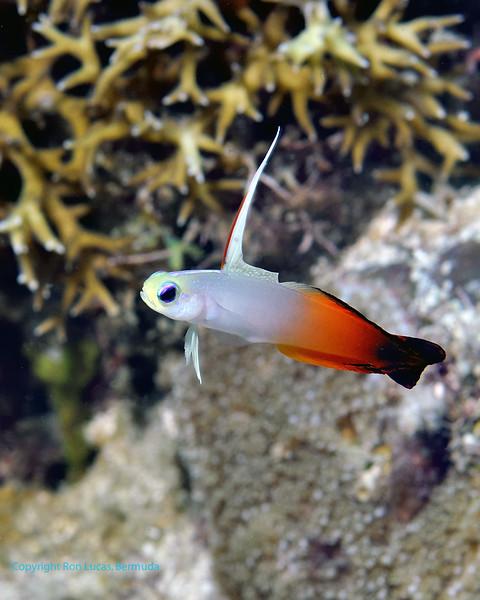 Fire Dartfish1