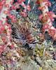 Spotfin Lionfish 10