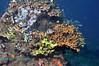 Dascyllus Reef Scene 2