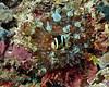 Clark's Anemonefish 7