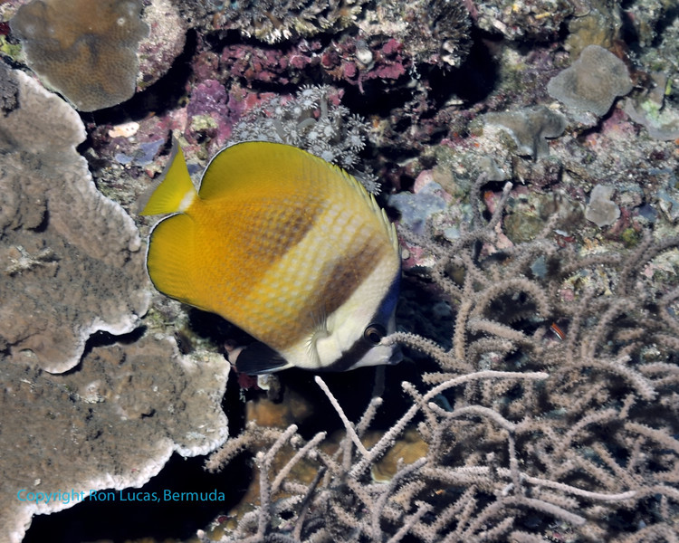 Blacklip Butterflyfish 1