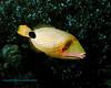 Orange-Lined Triggerfish 1