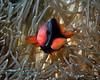 Tomato Anemonefish 3