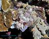 Papuan Scorpionfish 2
