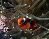 Spinecheek Anemonefish 3