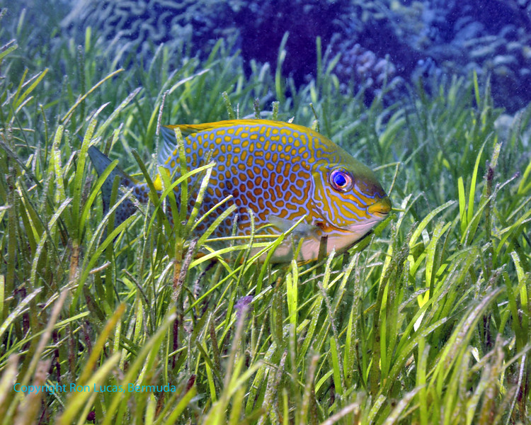 Golden Rabbitfish 2