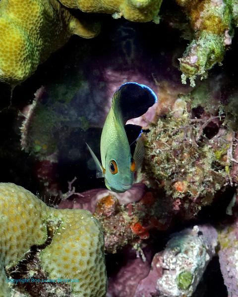 Pearl Angelfish