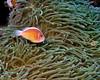Pink Anemonefish 4