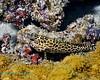 Honeycombe Grouper 1