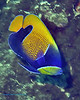 Blue-Girdled Angelfish 1