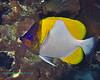 Pyramid Butterflyfish 2