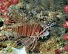 Spotfin Lionfish 9