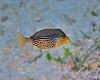 Solar Boxfish 1