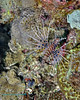 Spotfin Lionfish 3