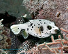 Blackspotted Pufferfish 11