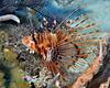 Spotfin Lionfish 7