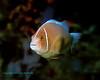 Pink Anemonefish 5
