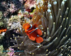 Spinecheek Anemonefish 2