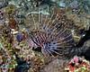 Spotfin Lionfish 2