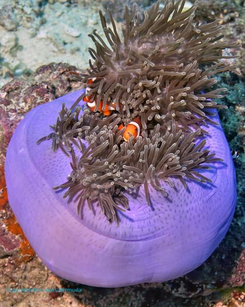 False Clown Anemonefish 9