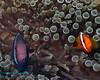 Tomato Anemonefish 4