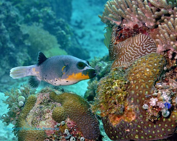 Blackspotted Pufferfish 12