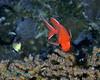 Whitetip Soldierfish 1