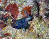 Mandarinfish 1