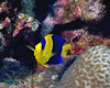 BiColour Angelfish 1