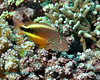 Freckled Hawkfish 2