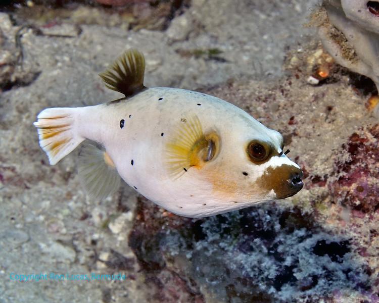 Blackspotted Pufferfish 4
