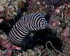 Zebra Moray 2