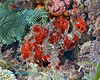 Painted Frogfish 3
