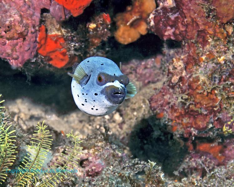 Blackspotted Pufferfish 2