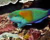 Bower's Parrotfish 1
